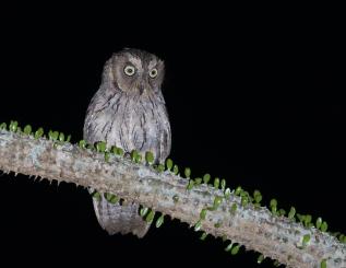Totoroka Scops Owl