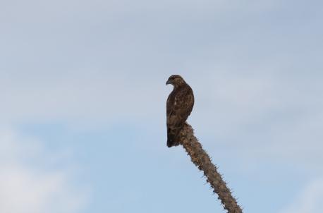 Madagascar Cuckoo Hawk