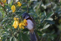 Bay-chested Warbling-Finch