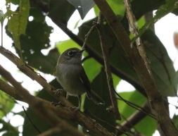 Serra do Mar Tyrannulet
