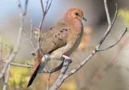 Blue-eyed Ground-Dove