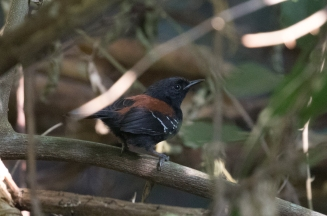 male Black-hooded Antwren