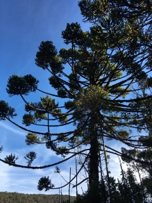The unique Araucaria Tree. I'm sure if you look close enough you can find a Tit-spinetail!