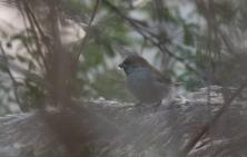 Male Sind Sparrow
