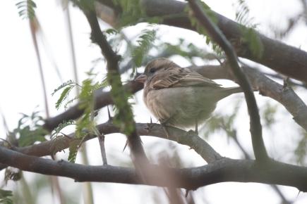 Female Sind Sparrow