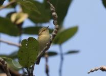 Brooke's Leaf-Warbler