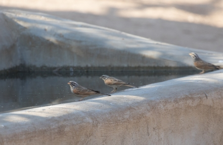 Striolated Buntings coming to drink