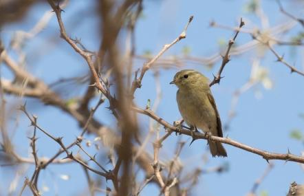 Brooke's Leaf Warbler